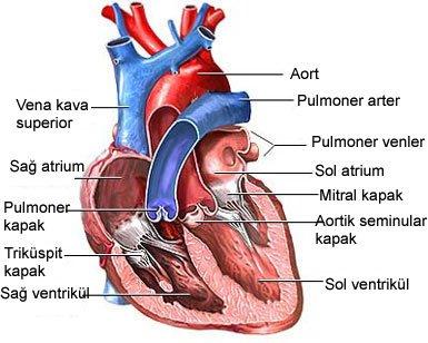Kalp sağlığınıza önem veriyormusunuz? Yürek sağlığı için neler yapılmalı