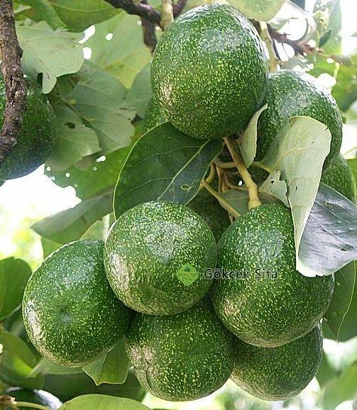 Hem Meyve, Hem Sebze, Hem de Doğal İlaç – Avokado